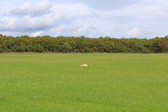 Остатки овец на поле стоковое фото rf