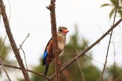 Остатки Kingfisher на ветви Meru, Кения стоковая фотография