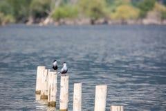 Остатки 2 whiskered птиц поворота на белых поляках Стоковая Фотография