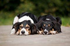 Портрет Коллиы границы 2 собак Стоковые Изображения