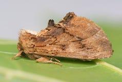 остальные ночи сумеречницы бабочки стоковое фото