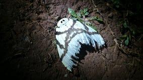 остальные ночи сумеречницы бабочки Стоковое Изображение RF