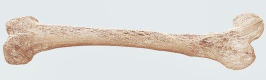 Остеопороз - верхние косточки лимба - перевод 3d Иллюстрация штока