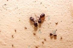 Остерегите муравья толпы большого, они прожил в доме Стоковое фото RF