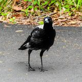 Осторожная австралийская сорока держит наблюдательный глаз стоковые изображения rf