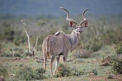 Осторожная антилопа стоковые фото