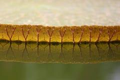 Острая пусковая площадка лилии Стоковые Изображения RF