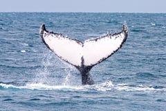 Острова Бразилия abrolhos горбатого кита Стоковые Изображения RF