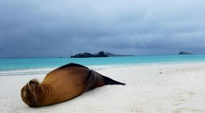 Острова Галапагос морсого льва Стоковые Изображения RF