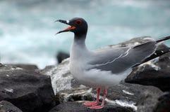 острова чайки galapagos заглатывают кабель Стоковые Изображения