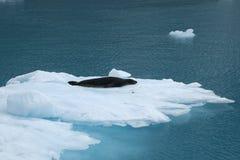 Острова Южной Георгии фьорда Drygalski, уплотнение леопарда отдыхая на плавая льде стоковое изображение rf
