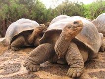 Острова galapagoss эквадора гигантской черепахи Стоковые Изображения