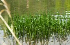 остров зеленой травы растет в воде Стоковые Изображения