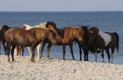 остров лошадей assateague одичалый стоковые изображения rf