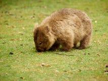 Остров Марии - Wombat Стоковое Изображение RF