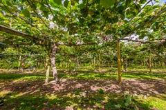 Остров Новая Зеландия сада плодоовощ кивиа северный Стоковая Фотография