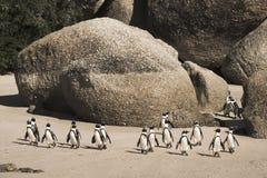 Остров пингвина Кейптауна в Южной Африке Стоковая Фотография