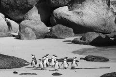 Остров пингвина Кейптауна в Южной Африке Стоковое Изображение