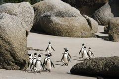 Остров пингвина Кейптауна в Южной Африке Стоковые Изображения RF