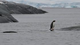 Остров пингвина Gentoo полезный, Антарктика Стоковая Фотография RF