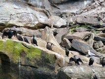 Остров птицы, бретонец накидки Стоковые Изображения