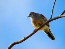 Остров птицы голубя на ветви Стоковое Фото