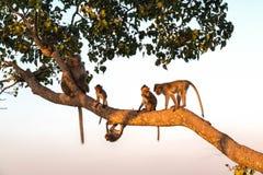 остров семьи bali monkeys древесина Стоковые Изображения RF
