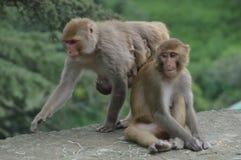 остров семьи bali monkeys древесина Стоковые Фото