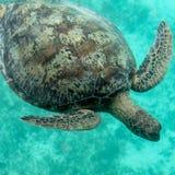 Остров Amedee морской черепахи, Новая Каледония Стоковое Изображение