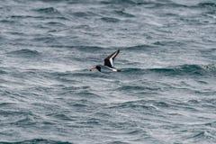 Остров leucopodus Haematopus oystercatcher Magellanic Sc Skye стоковое фото