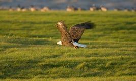 остров manitoba hecla полета облыселого орла Стоковая Фотография RF