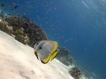 Остров 03 Menjangan spadefish Longfin Стоковая Фотография RF