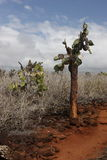 остров santa cruz кактусов Стоковые Фотографии RF