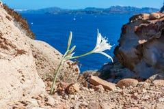 Остров Santorini, Греция: Белый конец полевого цветка на расплывчатой предпосылке стоковое изображение