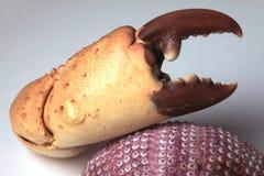 острозубцы жизни рака все еще Стоковая Фотография