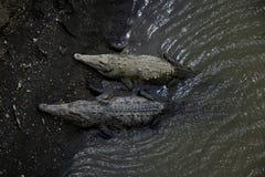 Острорылый крокодил - acutus крокодила Стоковое Изображение