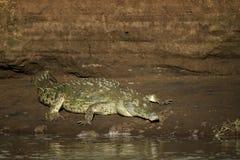 Острорылый крокодил - acutus крокодила Стоковое фото RF
