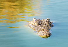 Острорылый крокодил видит только голову Стоковые Фотографии RF