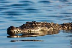 Острорылый крокодил Стоковые Изображения