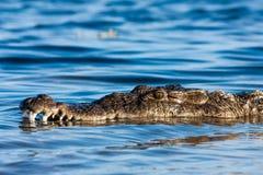 Острорылый крокодил Стоковые Фотографии RF