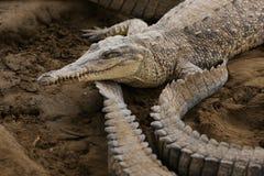 Острорылый крокодил Стоковая Фотография