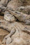 Острорылый крокодил Стоковая Фотография RF