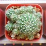 Острый терний зеленого Catus Стоковая Фотография RF