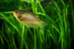Осфронемовые меда - тропическая рыба аквариума Стоковое Фото