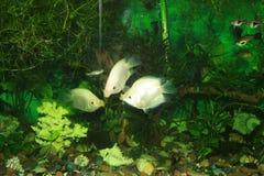 Осфронемовые рыб аквариума целуя Стоковые Фото