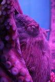 Осьминог гиганта северной части Тихого океана Стоковые Фото