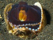 Осьминог кокоса Стоковое Изображение