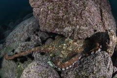 Осьминог северной части Тихого океана гигантский подводный в Японии Стоковое фото RF