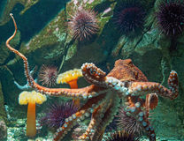 Осьминог Тихий Океан гиганта Стоковое Изображение