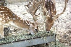 Ось оси Chital, также известная как запятнанные олени в зоопарке, Abu-dhabi-ОАЭ 21-ОЕ ИЮЛЯ 2017 Стоковое Фото